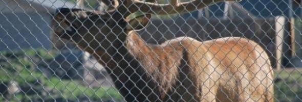 elk-saves-marmot-004
