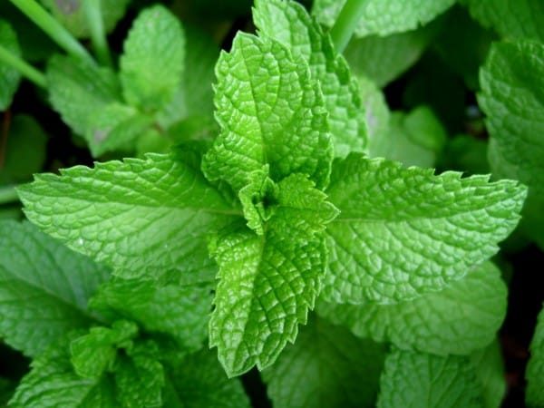 Mint-leaves-2007-600x4501
