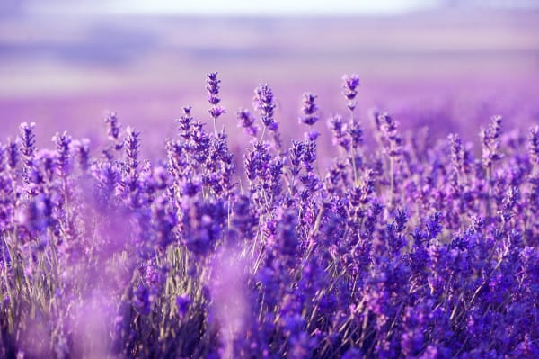 lavender-field-600x399
