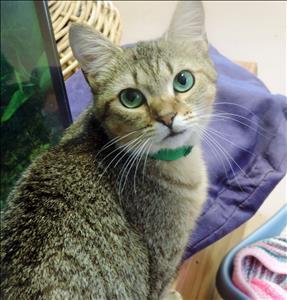 Angie-Cat-Adoption
