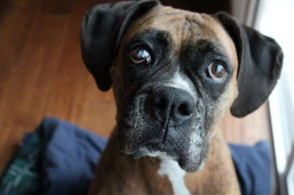 Katie-The-Boxer-Dog-Adopt-600x399
