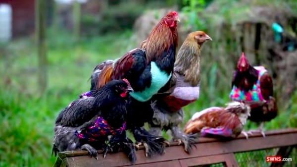 chicken-2-600x3371
