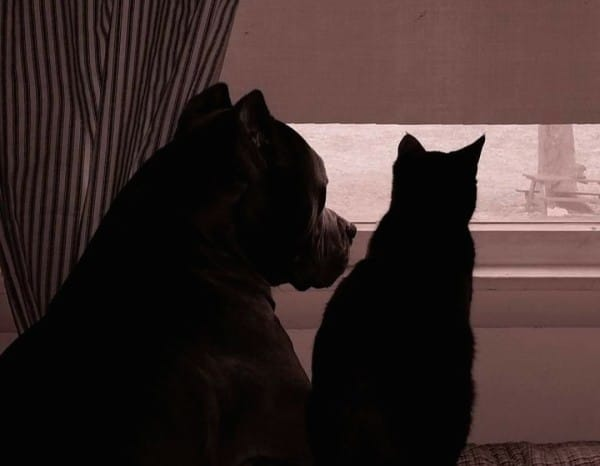 pit-bull-cat-window-cute-600x466