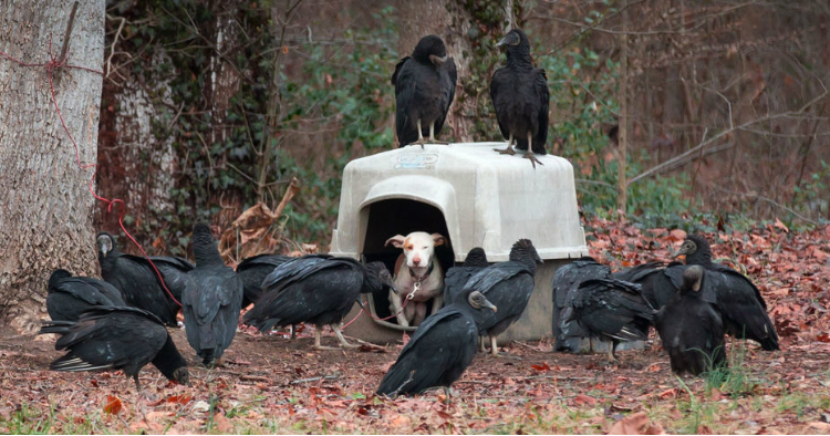 godupdates-vultures-surround-neglected-dog-11